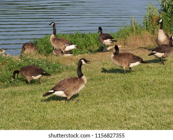 Amazing  Canadian Geese.