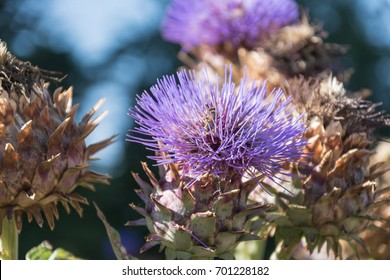 Amazing Cardoon plant blooming under the morning sunlight. Perfect image for: Wild Artichoke thistle or Wild Cynara Cardunculus , Cardoon flower,  bud of wild cardoon etc.