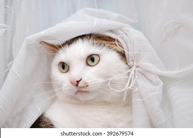 Amazing cat under the tulle curtain like a bride wearing a veil