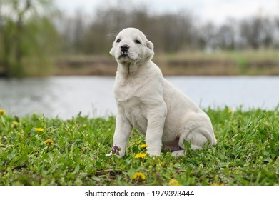 Amazing Central Asian Shepherd puppy sitting on grass