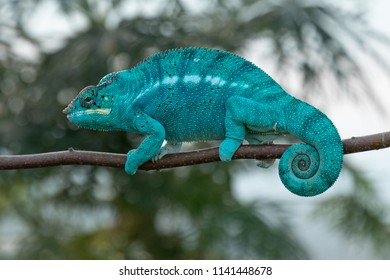 Amazing chameleon on a branch. Beautiful animal, very slow movement. Typical species from tropical exotic places, forest, jungle. Can be spotted during vacation and holidays. Wonderful experience.