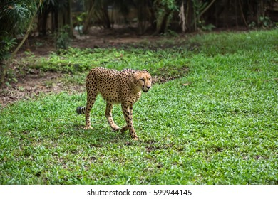 Amazing cheetah is moving on the grass on the trees background in the zoo in Singapore. Closeup. Horizontal.