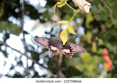 An amazing close of beautiful Common Mormon (Papilio polytes) butterfly female resting on the leaf, in a blurred background with beautiful pattern,  Odisha, India