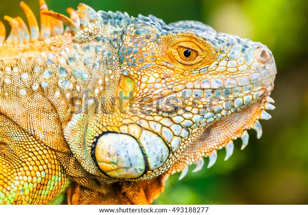 Amazing close up photo eye of green lizard iguana on background scenic tropical green nature at sunny summer day