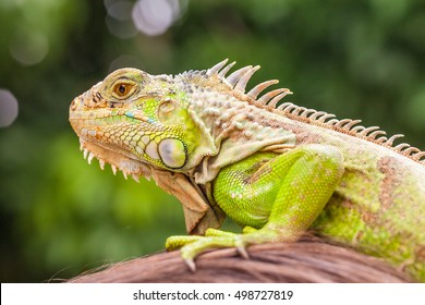 Amazing close up photo green lizard iguana at the head of a woman on background scenic tropical green nature at sunny summer day  / Asia, Thailand, Phuket zoo