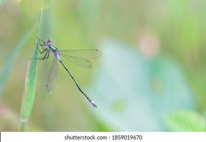 Amazing closeup of Common Blue Damselfly (Enallagma cyathigerum) resting oon a green leaf in the natural environment.