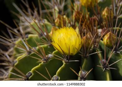 Amazing close-up of a flowering Ferocactus Histrix Cactus- or barrel cactus- a native of Mexico.