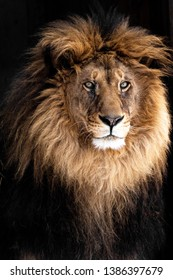 Amazing Closeup Portrait of a Male Lion, King of the Animals
