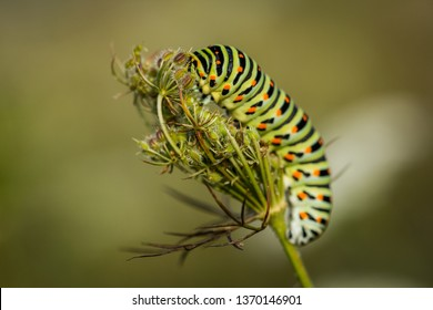 Amazing and colorful centipede climbing a flower. Lovely and detailed spring macro natural shot. Colorful bug, with green, white, black and red.