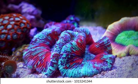 Amazing colorful open brain coral