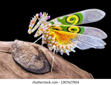 Amazing colorful Pseudocreobotra wahlbergii female. Spiny Flower Mantis show wings on black background