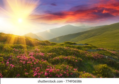 Amazing colorful sundown in mountains with majestic sunlight and pink rhododendron flowers on foreground. Dramatic colorful scene in mountains.