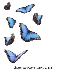 Amazing common morpho butterflies flying on white background