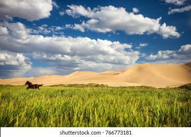 Amazing contrast of Mongolia, Sand dunes and running horse on Gobi desert, Asia