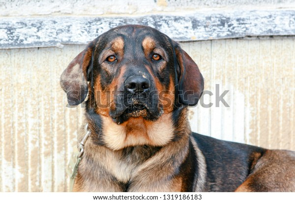 Amazing Cute Big Male Dog Mix Stock Image Download Now