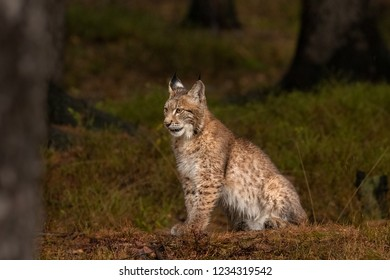 Amazing cute young lynx cub in autumn wet forest. Beautiful, endangered animal species. Unusual sight. Lovely mammal. Rare sight, very precious, gorgeous animal.