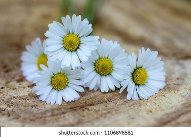 Amazing daisies, Bellis perennis flower heads on light brown wooden table