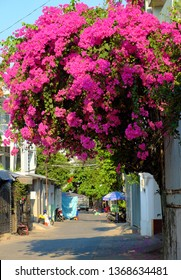 Amazing decorative front of house by bougainvillea flower bush, landscape of pink flower trellis bloom vibrant in pink on day at facade of house at Ho Chi Minh city, Vietnam