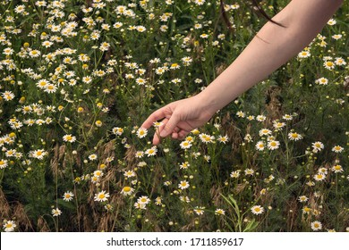 amazing and delicate field of daisies