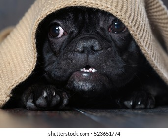 Amazing dog face with round eyes peeking out from under the rug. Dog black French bulldog