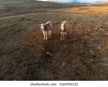 Amazing drone shots of a brown and white cow grazing on a green field at sunset  in Sivas Turkey