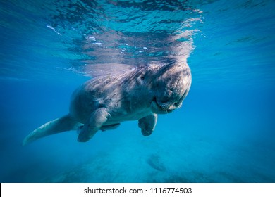 Amazing Dugong taking a breath during morning snack. Crystal clear water, perfect for holiday destination. Very rare to see this beautiful and interesting marine mammal. Friendly and calm.