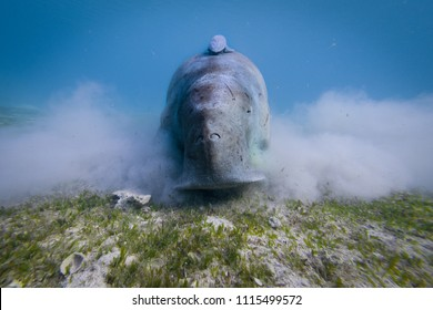 Amazing Dugong underwater shot. Quite rare sea animal having a morning snack. Sea grass is the main food this interesting animal eats. Wildlife shot of incredible animal.