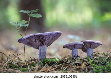 Amazing edible mushroom Lepista nuda commonly known as wood blewit in autumn forest. Czech Republic, Europe.