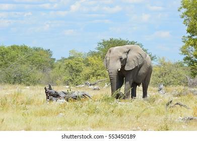 Amazing elphant in the Etosha National Park