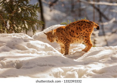 amazing Eurasian lynx (Lynx lynx)looking for place for rest