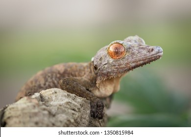 Amazing exotic gecko sitting still on a tree carefully watching the surroundings. Beautiful natural shot. Wonderful and unusual reptile with vivid orange eyes.