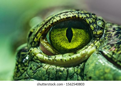 Amazing eye close up. The gharial (Gavialis gangeticus), also known as the gavial, is a crocodilian in the family Gavialidae. One of the most endangered crocodile species.