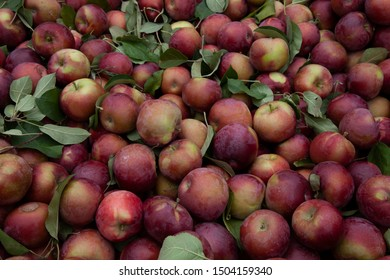 Amazing fall Macintosh apples with leaves in a bin for sale.