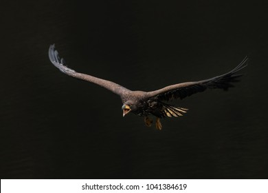 Amazing in flight shot of single sea eagle on black background. Gorgeous and majestic animal! Cute yet cruel predator and hunter.