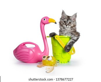 Amazing fluffy Maine Coon girl cat kitten, sitting in toy bucket beside flamingo and crab. Looking towards camera. Isolated on white background. Paw hanging out of bucket.