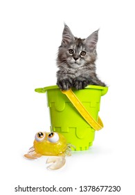 Amazing fluffy Maine Coon girl cat kitten, sitting in toy bucket beside crab. Looking towards camera. Isolated on white background.