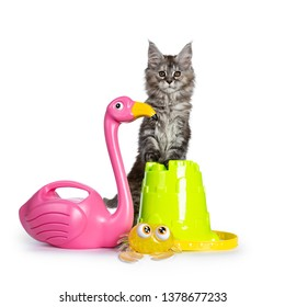 Amazing fluffy Maine Coon girl cat kitten, standing behind with paws on toy bucket beside flamingo and crab. Looking towards camera. Isolated on white background.