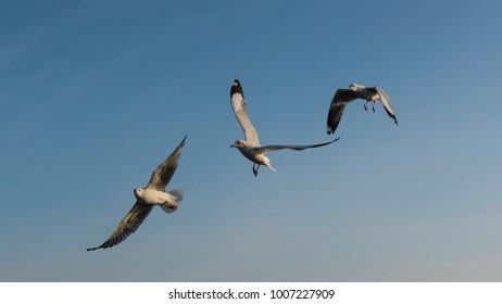Amazing flying action of Seagulls bird at coast