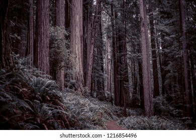 Amazing forest. West Ridge and Plairie Creek trail, Prairie Creek Redwoods State Park