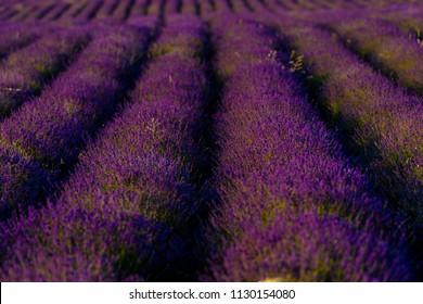 Amazing Fresh Lavaner Fields