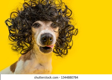 Amazing funny dog portrait in frizzle black hairstyle wig. Cool cocky cheeky impudent face. LIcking pet. Yellow background
