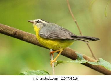 Amazing Golden crowned Warbler Basileuterus culicivorus bird perched in the forest Venezuela