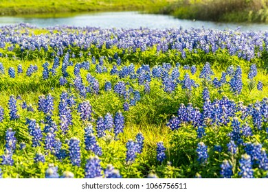 Amazing gorgeous beautiful bluebonnet patch a field of wild flowers and the Texas state flower in a green nature meadow in March Spring time with pond and nature walk in the background