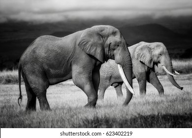 Amazing grazing Elephant bull with Elephant cow in the background in Amboseli National Park, Kenya