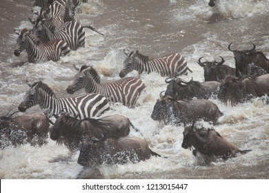 Amazing Great Migration Action Mara River Crossing