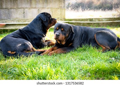 Amazing great watchdogs guarding their territory lying in the garden. Beautiful rottweilers friendship