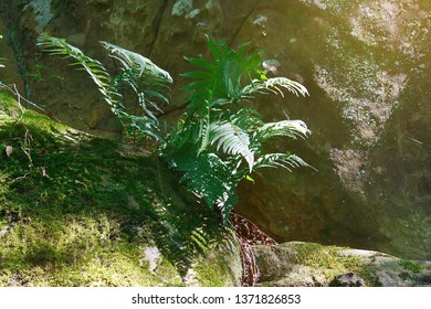 Amazing green fern in the morning sunlight on the surface of a rock
