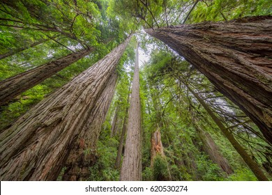Amazing green forest of sequoia. Huge sequoias on the background of the blue sky. The sun's rays fall through the branches. Redwood national and state parks. California, USA