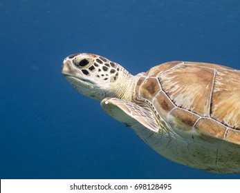 amazing Green Sea Turtle in blue water of the Caribbean Sea around Curacao