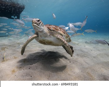 amazing Green Sea Turtle in shallow water of the Caribbean Sea around Curacao